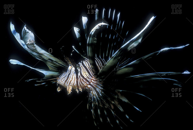 Lionfish With Extended Fins