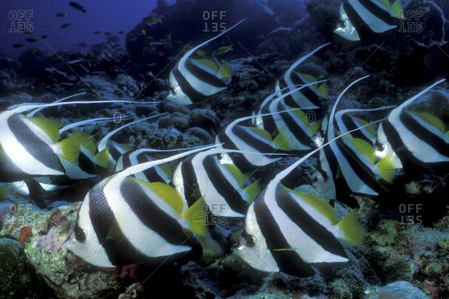 Schooling Bannerfish, Maldives