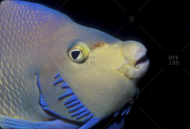 Close-Up Blue Angelfish