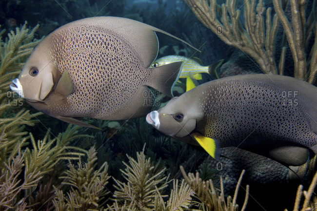 Curious Pair Of Gary Angelfish (Pomacanthus Arcuatus), Wander Through A Reef In The Florida Keys National Marine Sanctuary