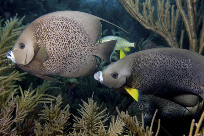 Curious Pair Of Gary Angelfish (Pomacanthus Arcuatus), Wander Through A Reef In The Florida Keys National Marine Sanctuary