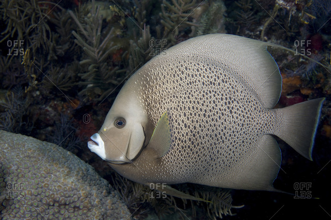 A Gray Angelfish (Pomacanthus Arcuatus) Pauses Near A Small Head Of Great Star Coral (Montastraea Cavernosa)