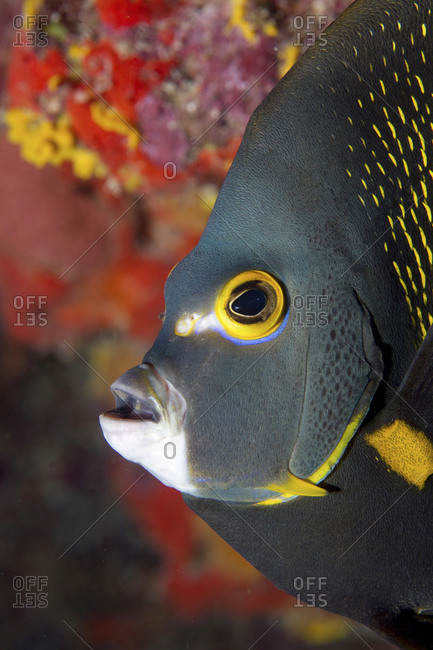 Close-Up Of A French Angelfish (Pomacanthus Paru)