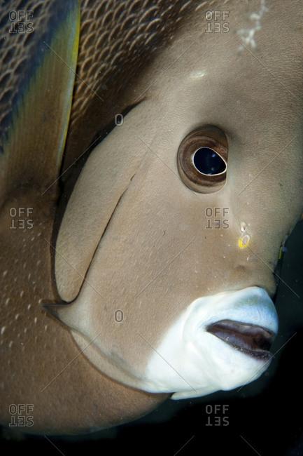 Gray Angelfish (Pomacanthus Arcuatus), Florida Keys National Marine Sanctuary, On The Benwood Shipwreck