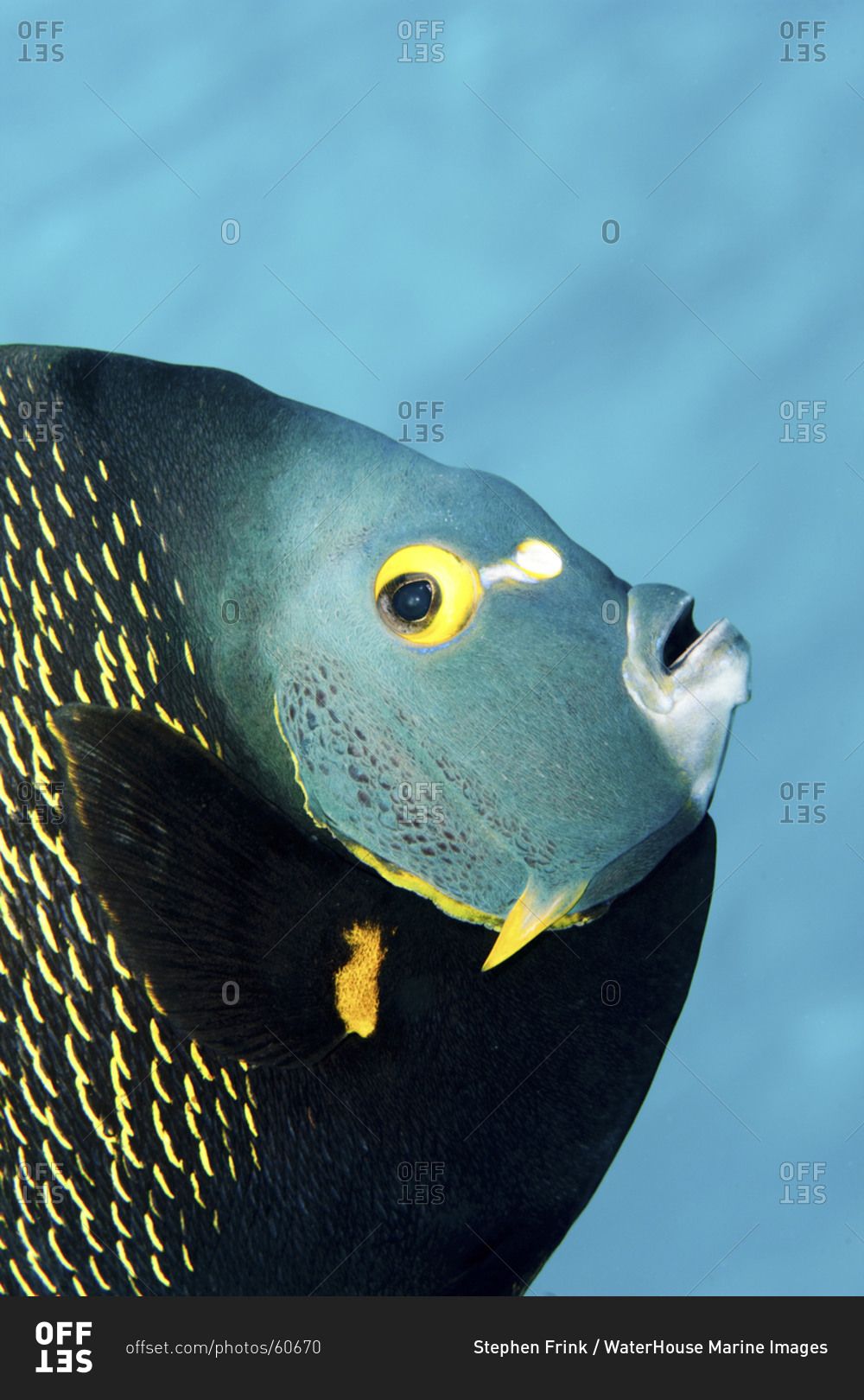 This colorful tropical fish is found in the waters of the for Florida tropical fish