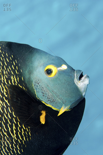 This Colorful, Tropical Fish Is Found In The Waters Of The Caribbean, Bahamas, Florida, Gulf Of Mexico And Brazil