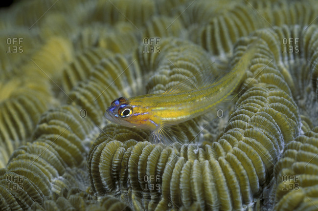 Peppermint Goby On Coral Head