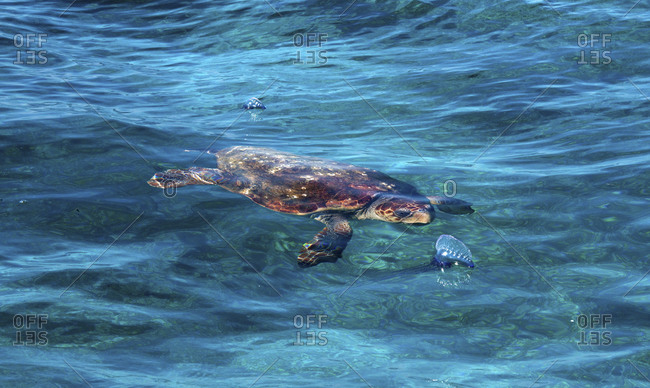 Overhead View Of A Loggerhead Sea Turtle (Caretta Caretta)