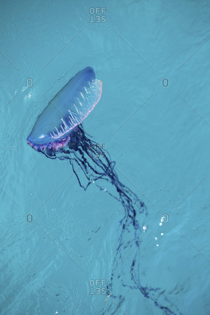 Man Of War, Also Known As Portuguese Man Of War (Physalia Physalis)
