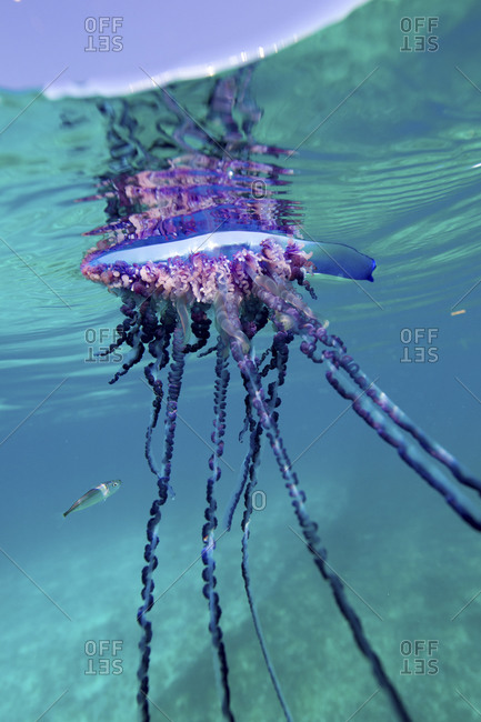 Over/Under View Of  A Man Of War, Also Known As Portuguese Man Of War, Physalia Physalis