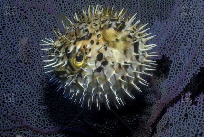 Pufferfish, Including This Balloonfish, Inflate To Make Themselves Seem Larger And More Intimidating To Predators