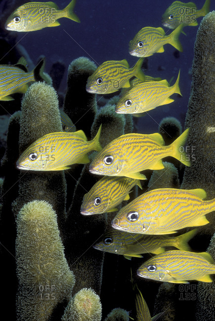 Grunts And Pillar Coral