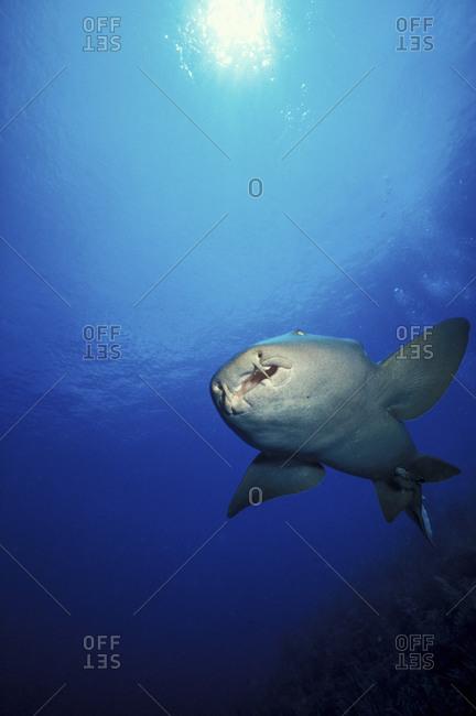 Swimming Nurse Shark