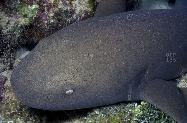 Close-Up Nurse Shark
