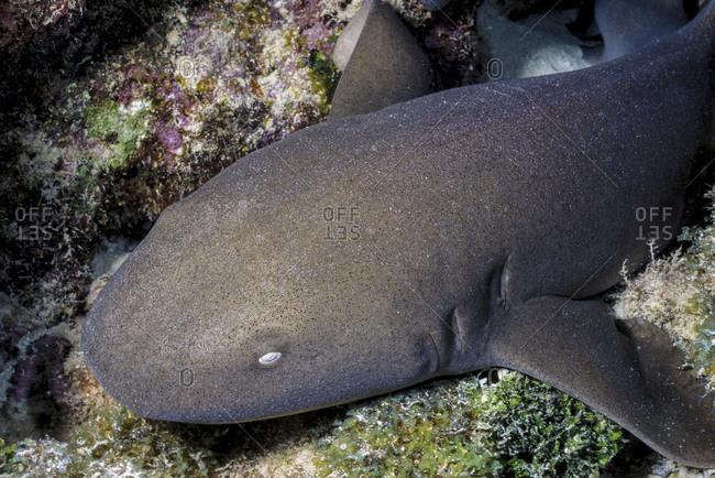 Close-Up Nurse Shark