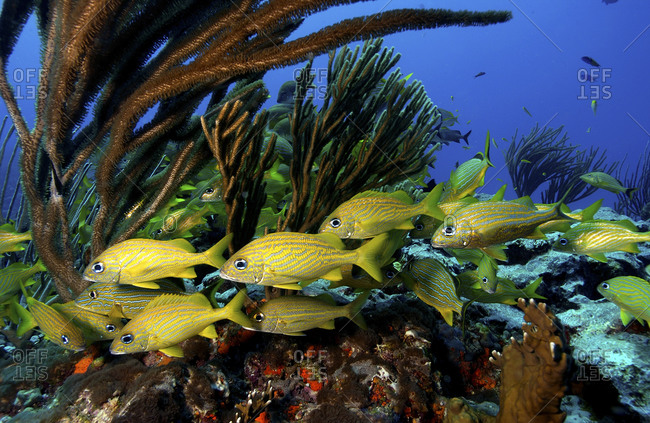 A Small Cluster Of French And Smallmouth Grunts, Haemulon Flavolineatum And Haemulon Chrysargyreum, On A Reef In Puerto Rico