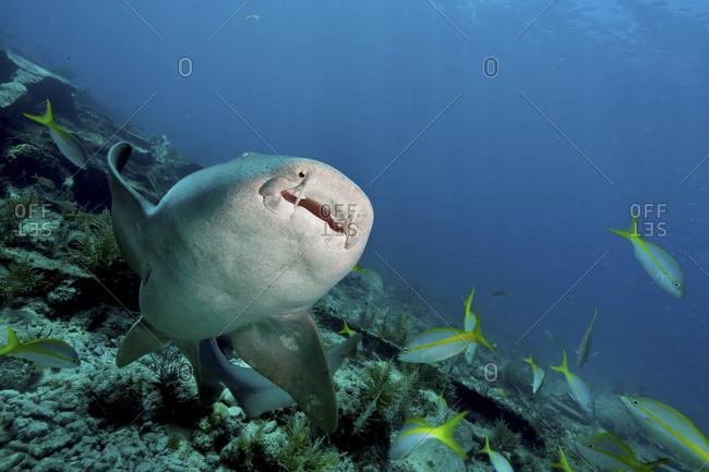 Nurse Shark (Ginglymostoma Cirratum) Near The City Of Washington Wreck, Key Largo, Florida