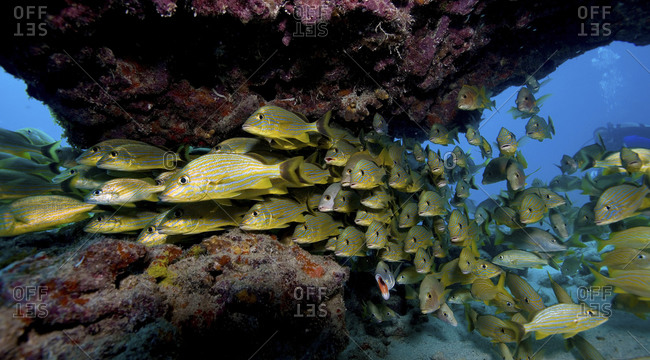 Schooling Fish Hide Beneath A Ledge Of Coral