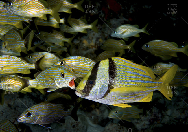 A Bluestriped Grunt (Haemulon Sciurus) Opens His Mouth In Preparation For Cleaning
