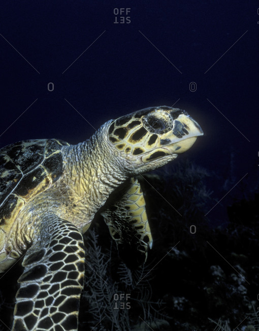 Close-Up Of Hawksbill Turtle