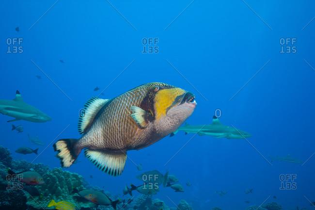 Titan Triggerfish In Mid-Water
