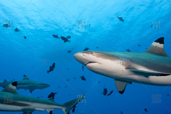 Blacktip Reef Sharks, Moorea - Offset