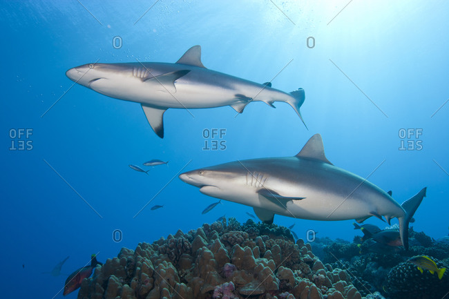 Pair Of Grey Reef Sharks, French Polynesia