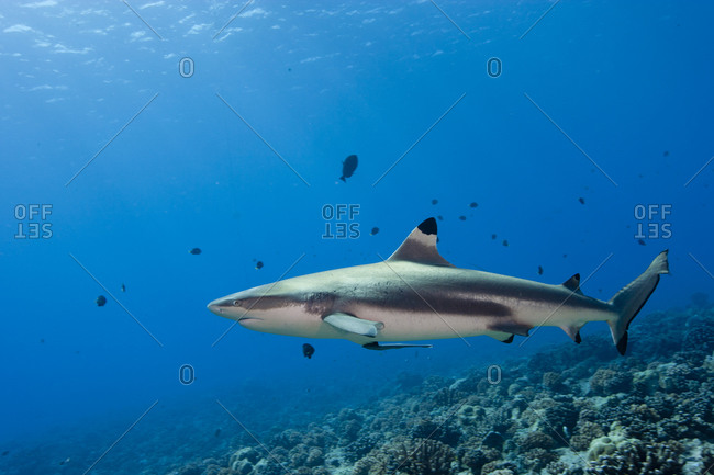 Blacktip Reef Shark Bora, Bora