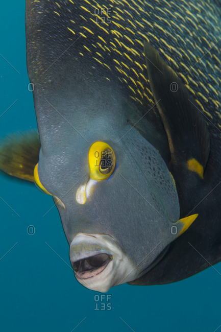 Close-up Of French Angelfish