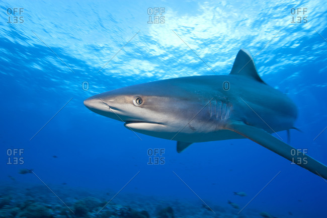 Head On With A Silvertip Shark