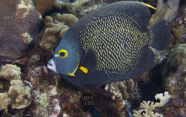 French Angelfish On Coral Reef