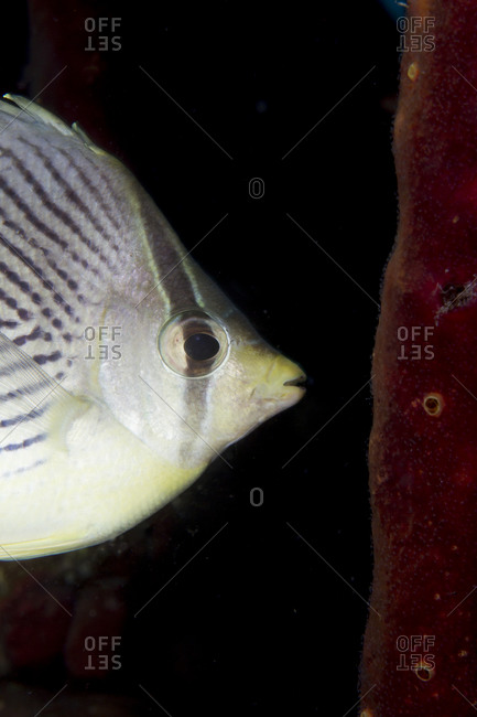 Close-up Of Four-Eyed Butterflyfish - Offset