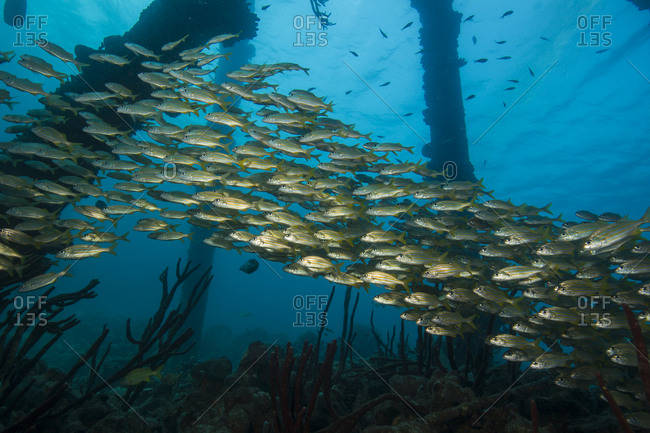 Schooling Grunts Among The Pilings At The Salt Pier, Bonaire