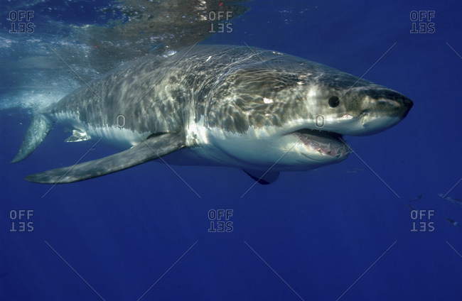 Great White Shark, Carcharodon Carcharias, With Mouth Agape, Guadalupe Island, Mexico
