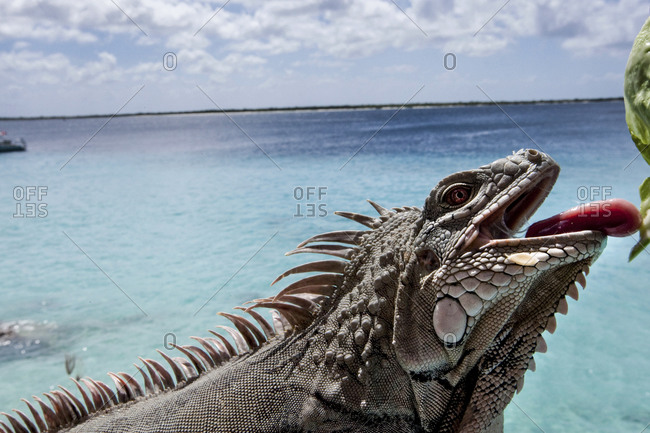 Close-Up Of A  Rock Iguana (Cyclura Sp) On The Island Of Bonaire