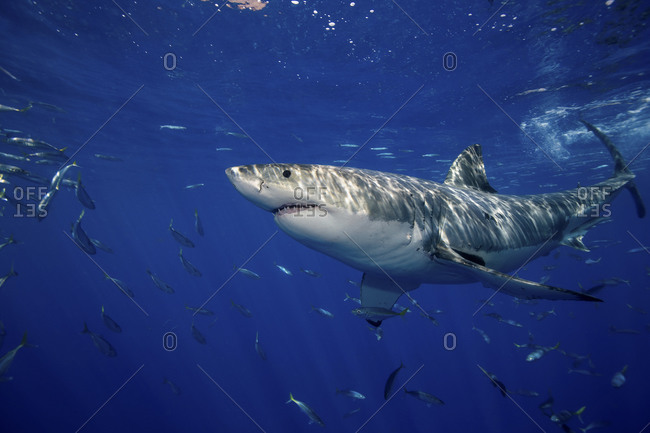 Great White Shark (Carcharodon Carcharias), Seen Just Under  The Surface Near The Island Of Guadalupe, Mexico