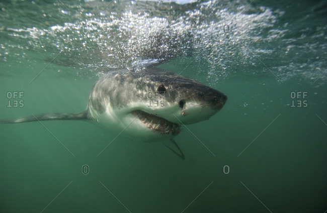 Great White Shark, Carcharodon Carcharias, Just Under The Surface, South Africa