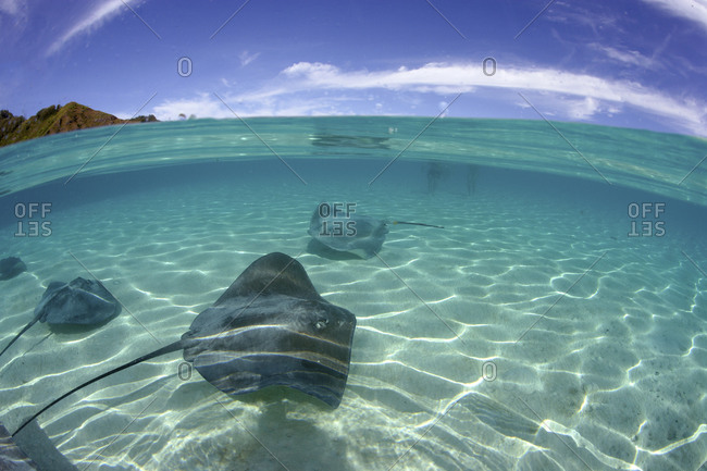 A Small Group Of Tahitian Stingrays, Himantura Fai, French Polynesia  Clear Water With Islands In Background
