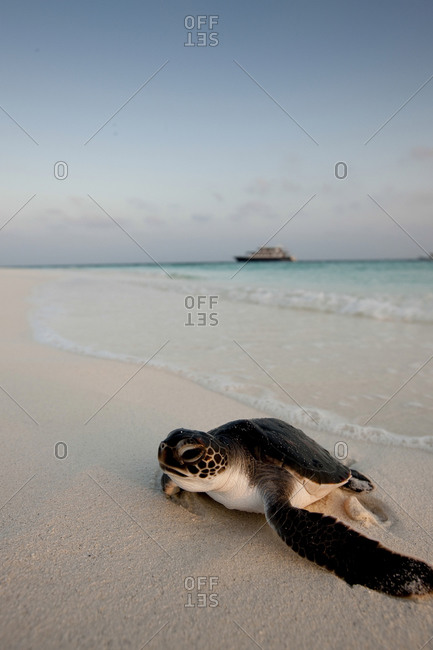 Green Sea Turtle (Chelonia Mydas), Rescued From A Fisherman's Net, Now Fed And Taken For Daily Swims Until It Is Perceived As Strong Enough To Survive In The Wild