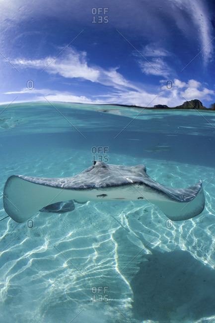 A Lone Tahitian Stingray, Himantura Fai, In Water Clear Enough To See Blacktip Sharks In The Far Background, French Polynesia