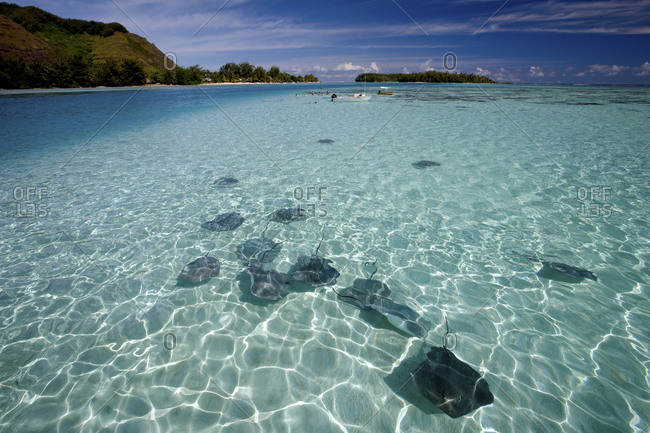 Sandbar With Tahitian Stingrays, Located In Lagoon Near Intercontinental Resort And Spa, Moorea