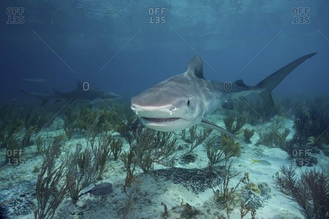 Tiger Shark, Galeocerdo Cuvier, With Lemon Shark, Negaprion Brevirostris