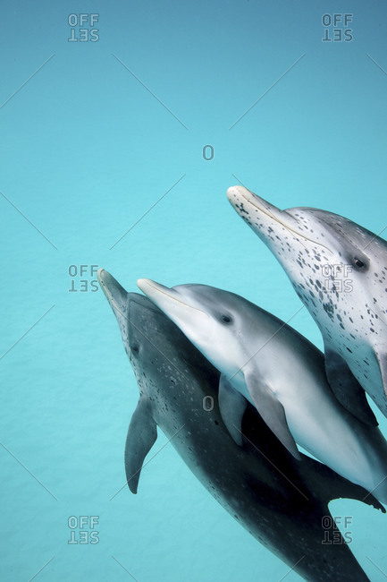 Spotted Dolphins At White Sand Ridge, West End, Grand Bahama