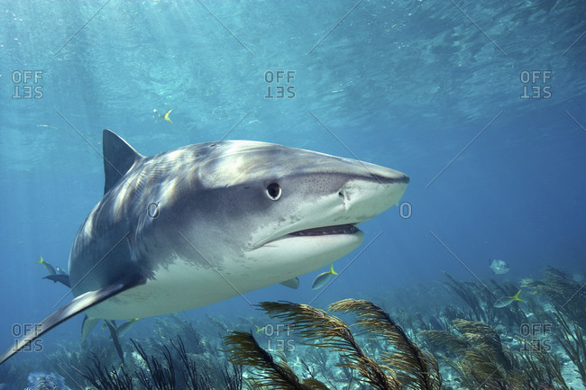 Tiger Shark, Tiger Beach