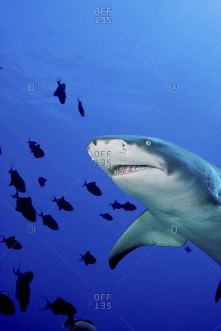 A Lemon Shark (Negaprion Brevirostris)
