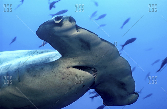 Close-Up Scalloped Hammerhead