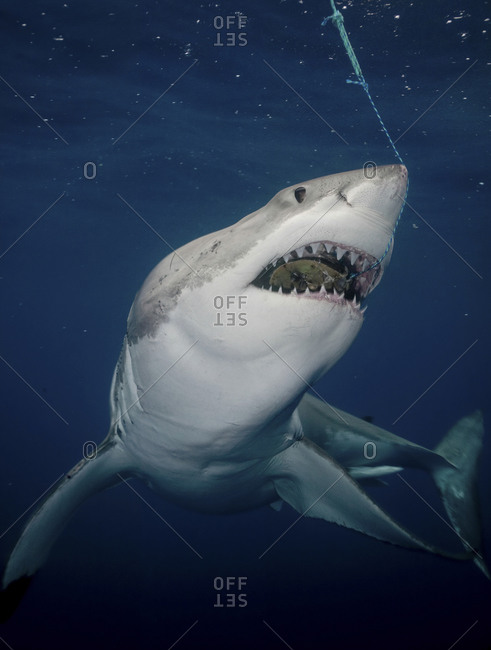 Great White Shark (Carcharodon Carcharias),