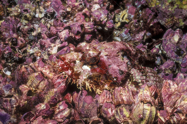 Stone Scorpionfish (Camouflaged In Barnacles)