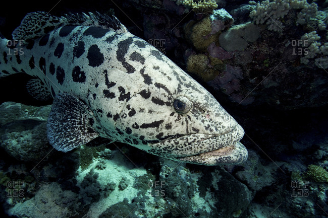 Potato Cod, Epinephelus Tukula, Great Barrier Reef, Cod Hole, Australia