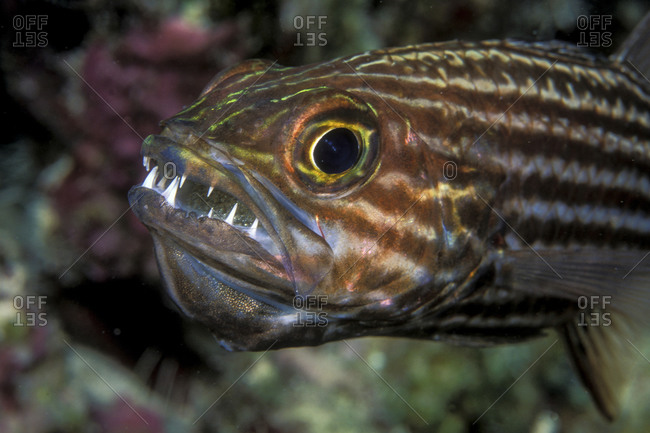 Male Cardinalfish With Mouthful Of Eggs